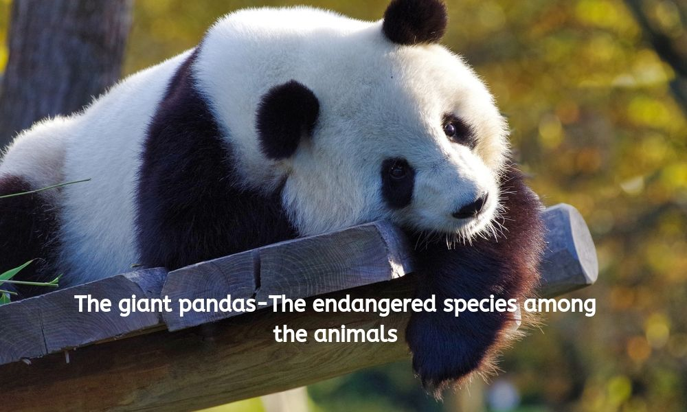 The giant pandas-The endangered species among the animals