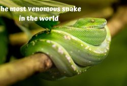 What is the most venomous snake in the world and its significance?